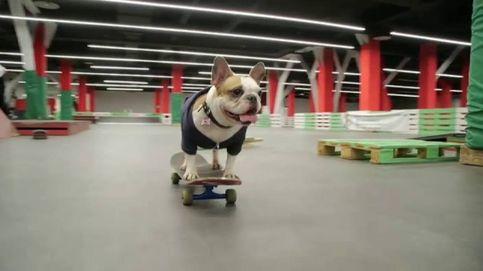 Cuatro patas y sobre cuatro ruedas: 'skateboard' perruno en Rusia