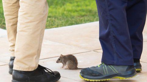 Una rata irrumpe en el salón de plenos del Parlamento andaluz y desata el caos