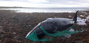 Post de Una ballena embarazada muere tras quedar atrapada en una red de pesca