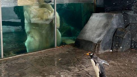 Los pingüinos del zoo de San Luis visitan por sorpresa a sus vecinos