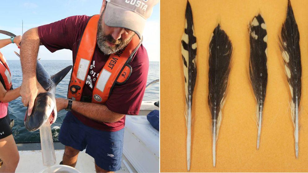 Foto: Los investigadores vaciando el estómago de un bebé tiburón donde hallaron plumas (Marcus Drymon)