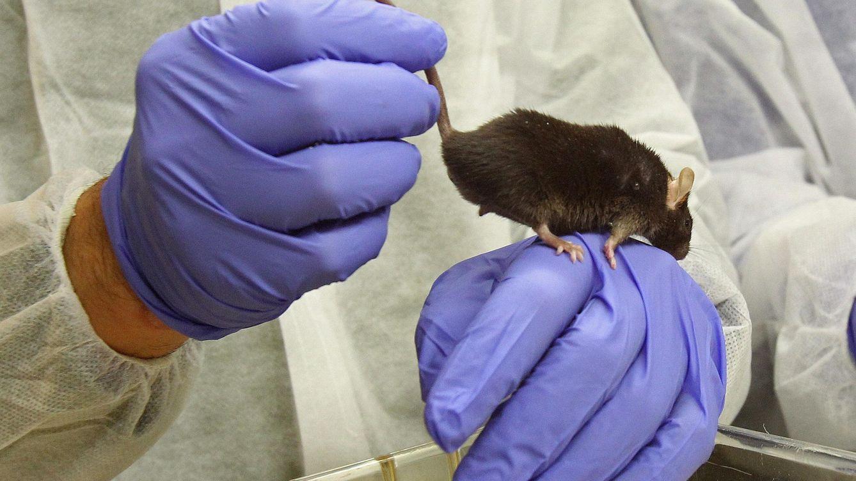 Un medicamento contra el ictus evita la pérdida de memoria del alzhéimer en ratones