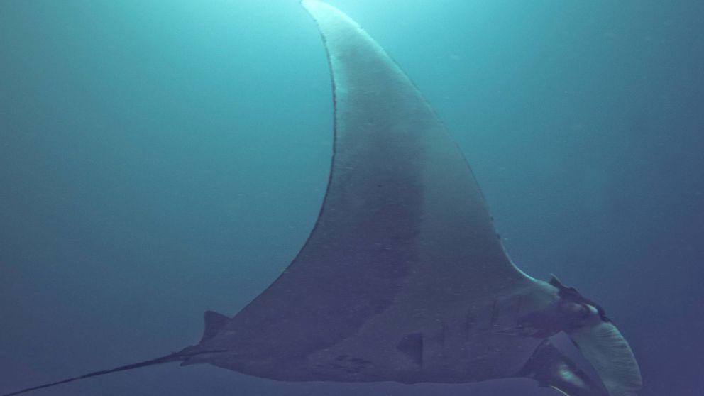 Locura en una playa de Canarias por la invasión de peces manta