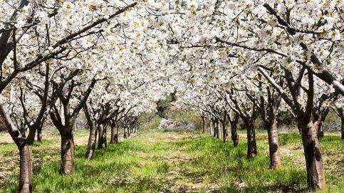 Los mejores rincones de España para ver cerezos en flor estas semanas