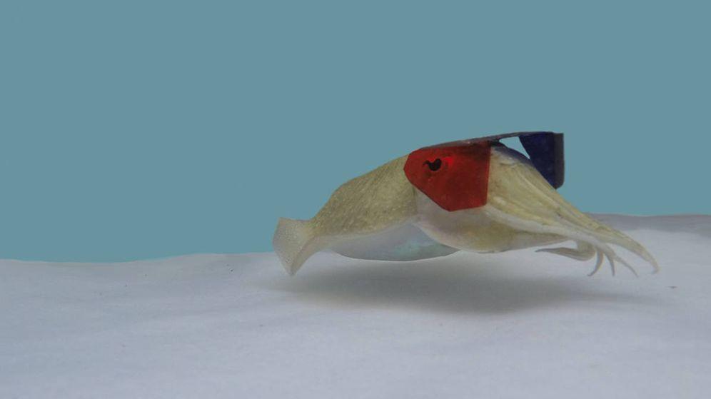 Foto: La sepia con las gafas de 3D: Foto: Wardill Lab