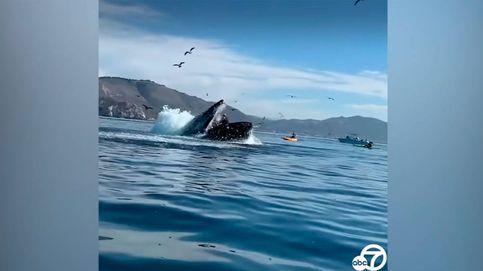Una ballena jorobada se lanza contra dos deportistas en kayak y casi se los traga