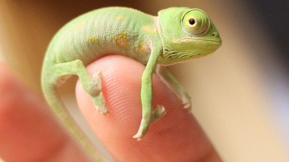 La mayor aceleración animal está en la lengua de este camaleón