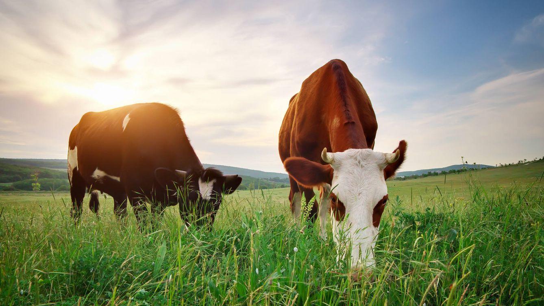 Carne de pasto o por qué la hierba que comen las vacas es buena para tu salud