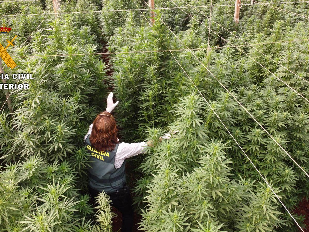 Foto: Una agente camina entre un 'bosque' de marihuana en una de las plantaciones incautadas. (Guardia Civil)