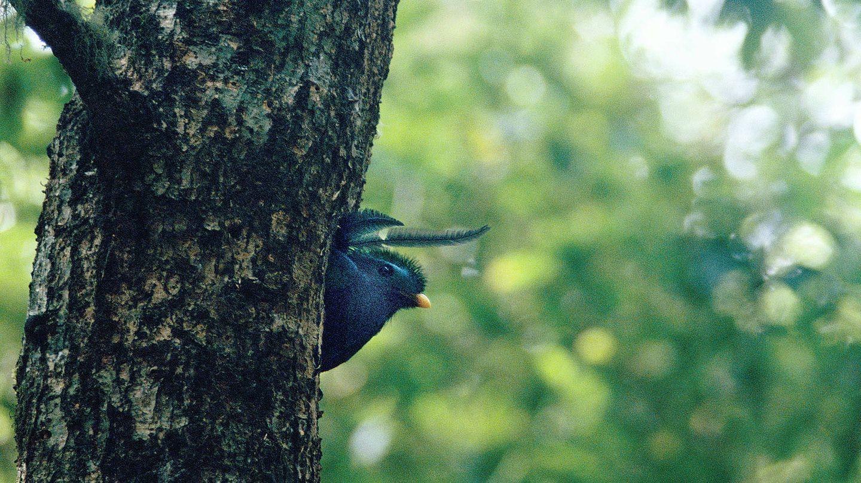 Quetzal cabecidorado en Panamá, vertiente del Caribe. (Andoni Canela)