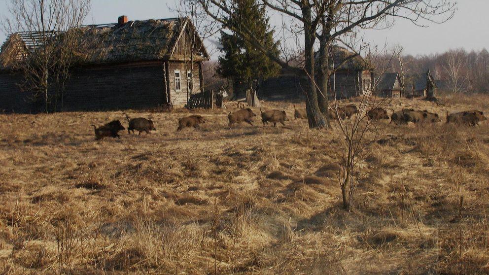 Los animales conquistan Chernóbil 30 años después del accidente nuclear
