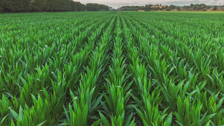 Parece un simple campo de maíz, pero este vídeo te volará la cabeza
