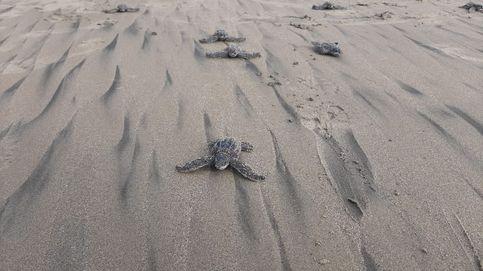 Nacen en Ecuador las primeras tortugas laúd en 40 años