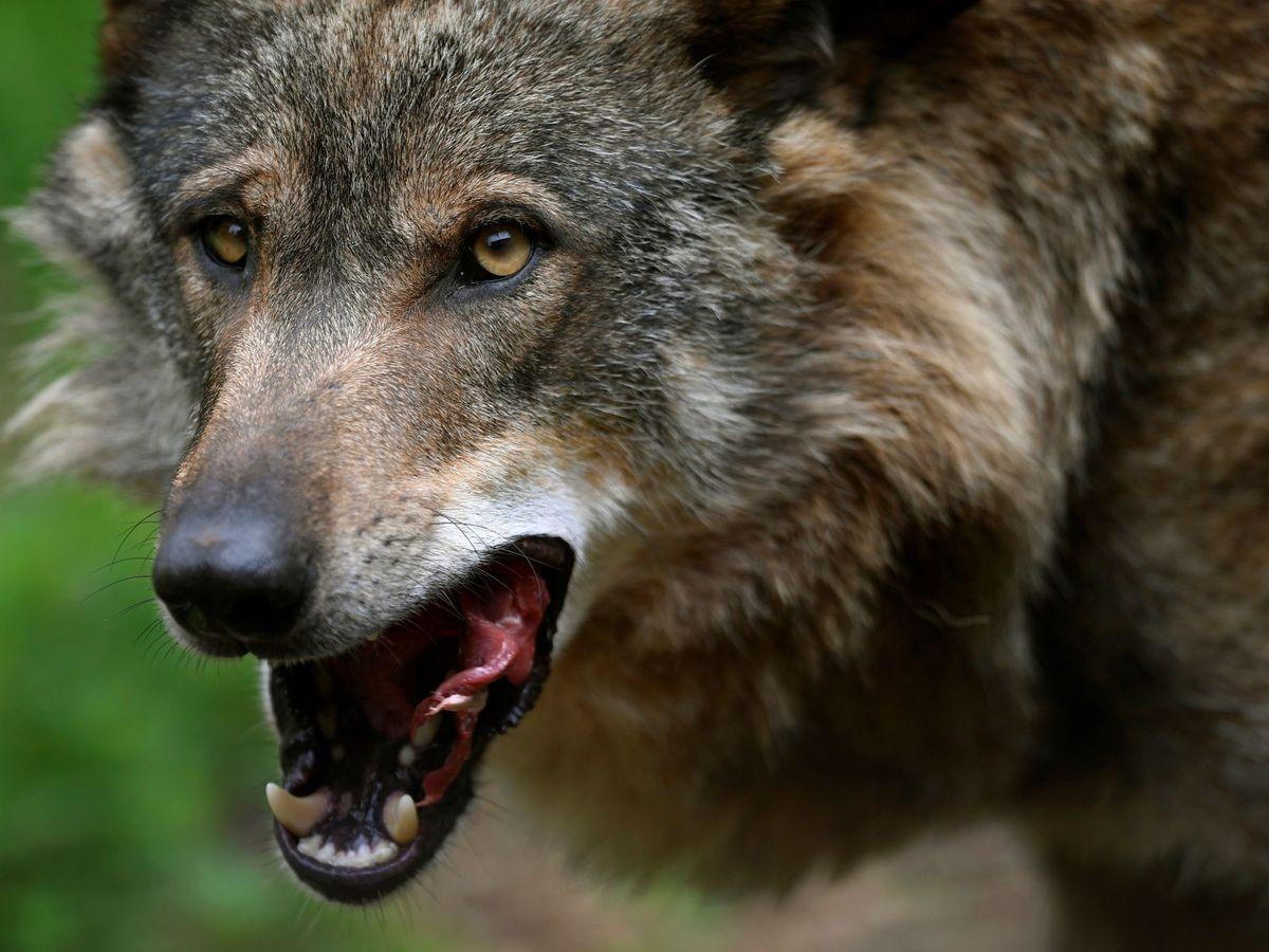 Foto: El lobo Belmon en Belmonte de Miranda (Asturias). (EFE)