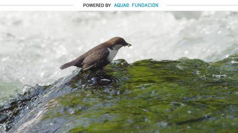 El mirlo acuático, el buceador de nuestros ríos de montaña