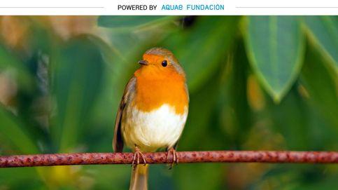 El 'rechoncho' pájaro que conquista parques con su canto