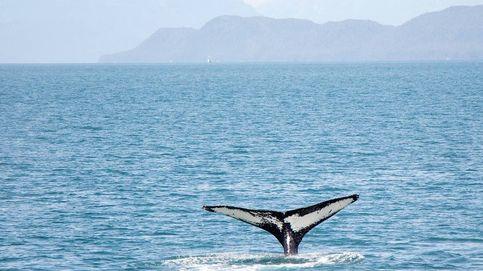 Liberan en Italia a una ballena atrapada en una red de pesca ilegal