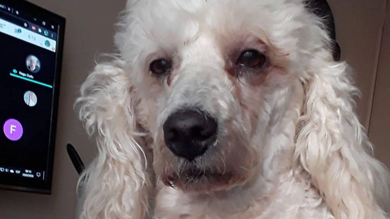 Este perro pasó dos noches sin dormir por apoyar a su dueña y su cara lo dice todo