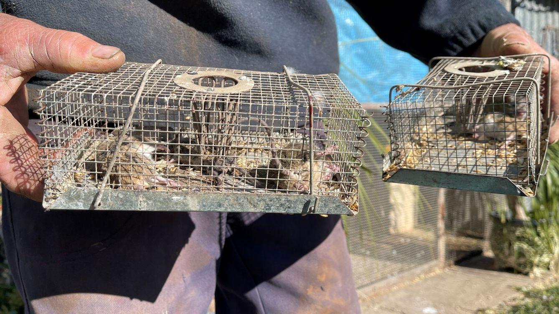 Una plaga de ratones obliga a evacuar una cárcel entera en Australia
