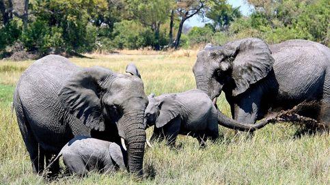 Botsuana levanta la prohibición de cazar elefantes por los conflictos que generan