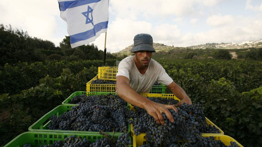 Foto: A worker places grapes in a crate in one of the vineyards of Kibbutz Tzuba