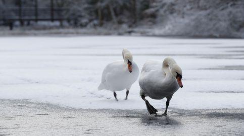 Dos cisnes en un lago helado