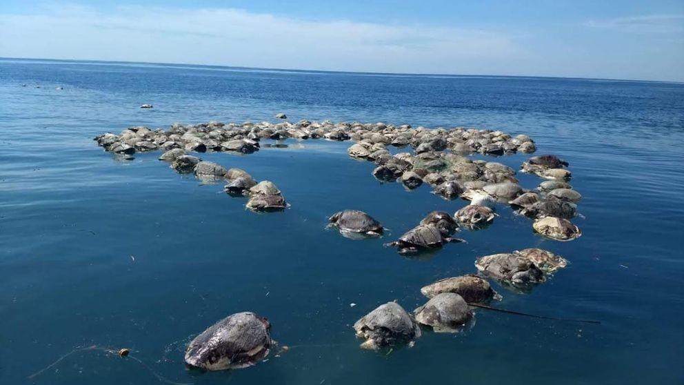Hallan muertas a 300 tortugas marinas en peligro de extinción atrapadas en redes ilegales en México