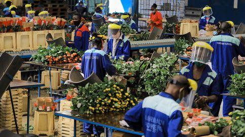 La exportación de flores de Kenia aumenta con la flexibilización del bloqueo en Europa