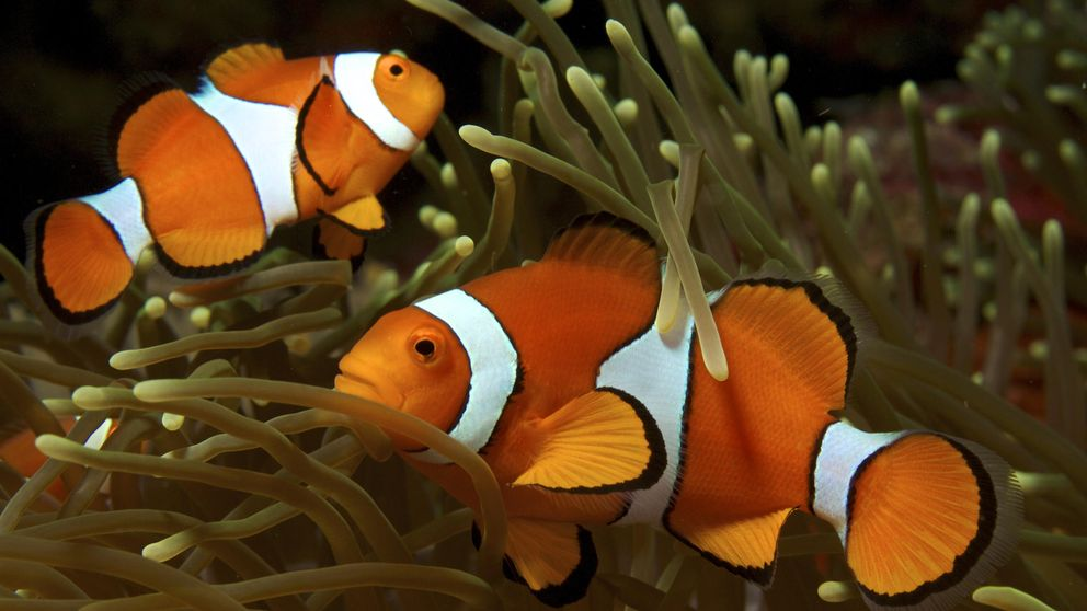 Los peces de 'Buscando a Nemo' ven y se comunican por luz ultravioleta