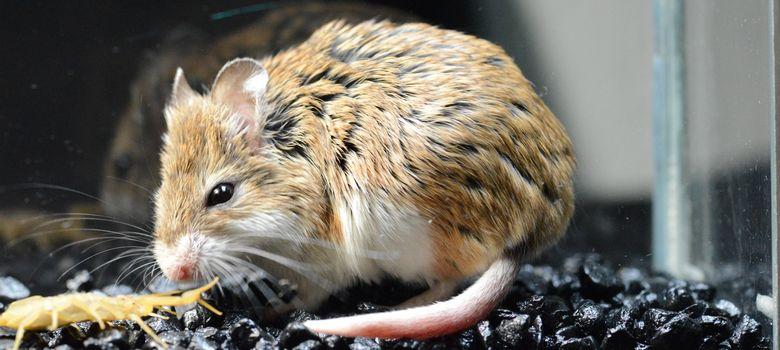 Foto: Un ratón saltamontes se acerca al escorpión de corteza. (Matthew y Ashlee Rowe)