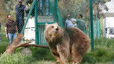 La nueva vida de Simba y Lola, los únicos supervivientes del zoo de Mosul
