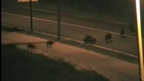Orín de lobo y jaulas para evitar los accidentes de tráfico provocados por jabalíes