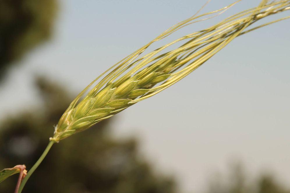 Foto:  Una espiga de trigo (Universidad de Tel Aviv)