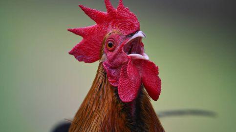 Así se 'escucha' a las aves para mejorar la calidad de su carne