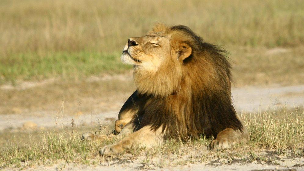 Foto: 'Cecil', el león abatido por el dentista americano. (Reuters)