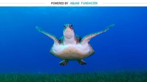 Chelonia Mydas, la tortuga que se reproduce en la playa donde nació