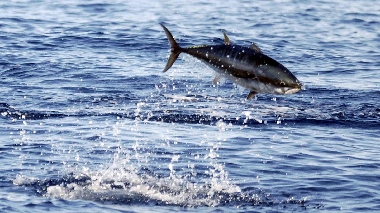 El atún rojo es una de las especies más amenazadas por la sobrepesca (EFE)