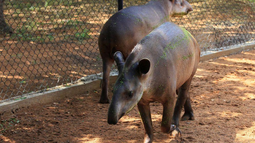 Foto: Los tapires del Parque Zoológico Metropolitano de Zulia en Maracaibo, Venezuela. (Reuters)