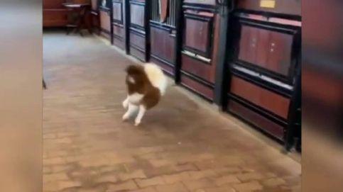 Un poni vuelve a andar a pesar de una deformación en las patas