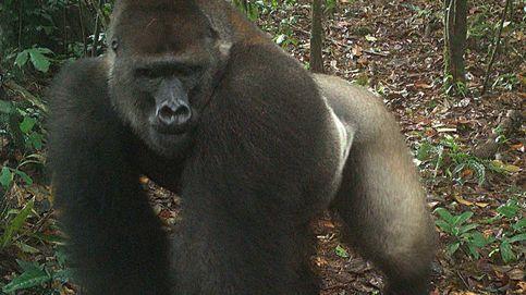 La ciencia revela por qué los machos de gorila golpean sus pectorales