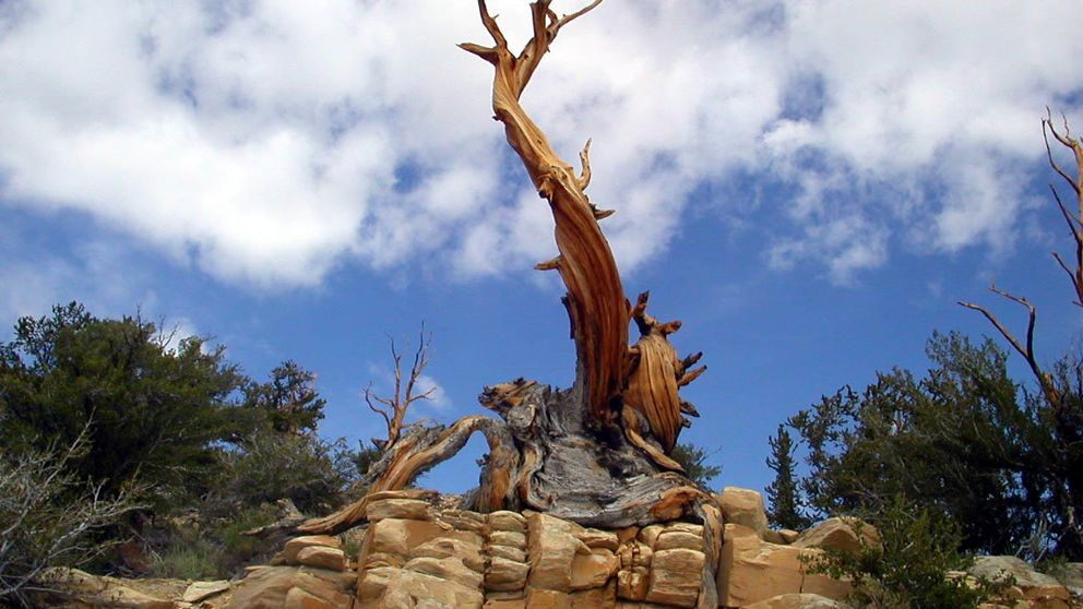 Los árboles más antiguos del planeta