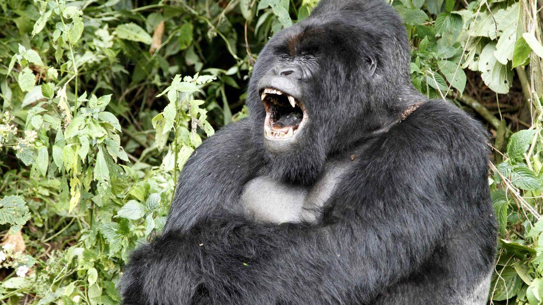 Un gorila de espalda plateada como este es contra el que Tyson quiso pelear. (Reuters)