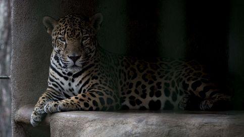 Animales en peligro de extinción aparecen en el Caribe vacío por el Covid-19