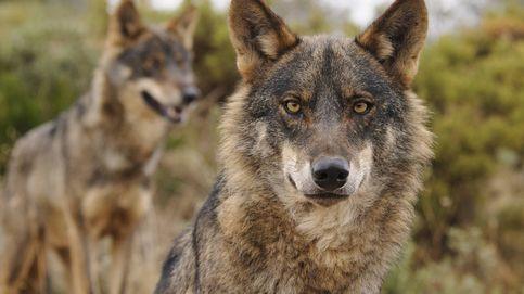 ¿Por qué hay que proteger al lobo?