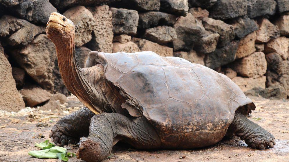 Foto: Se retira Diego, la tortuga centenaria que salvó su especie teniendo 800 hijos. (EFE)
