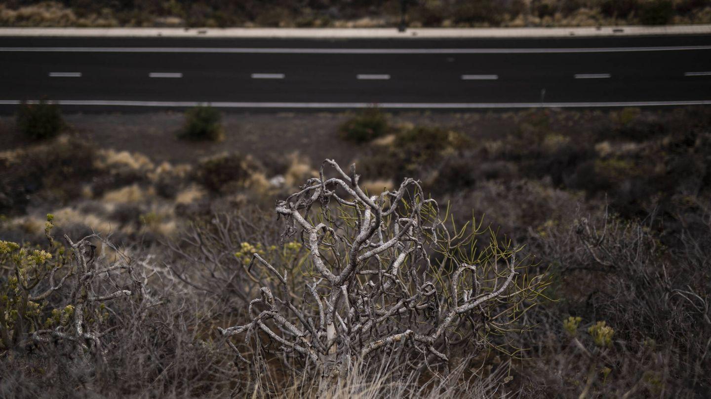 Vegetación en la carretera que une el aeropuerto de La Palma con Los Cancajos. (Alejandro Martínez Vélez)