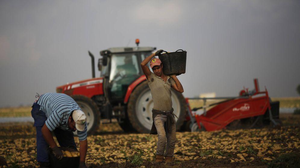 Foto: Jornaleros marroquíes recogen patatas en un campo de Cartagena. (Reuters)