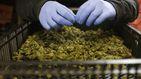 Marihuana gratis a los funcionarios durante el cierre de la administración