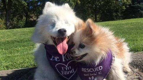 La tierna historia de Hoshi, un perro ciego, y su compañero guía
