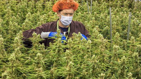 Cultivo de marihuana legal en Canadá